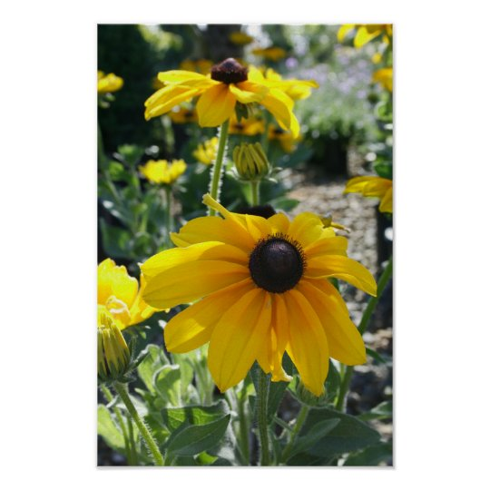 """Rudbeckia Bloom"" Poster"