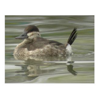 Ruddy Duck Postcard