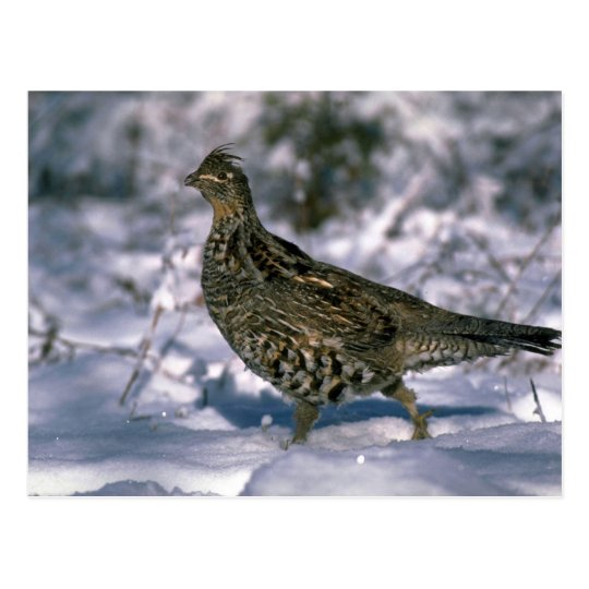 Ruffed grouse standing in snowy woods postcard