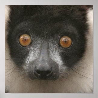 Ruffled Lemur Posters