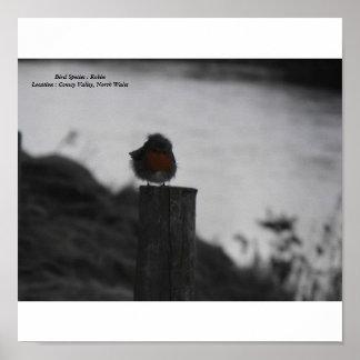 Ruffled robin, Bird Species : Robin Poster