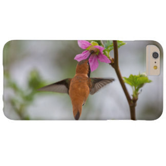 Rufous hummingbird at wild rose barely there iPhone 6 plus case
