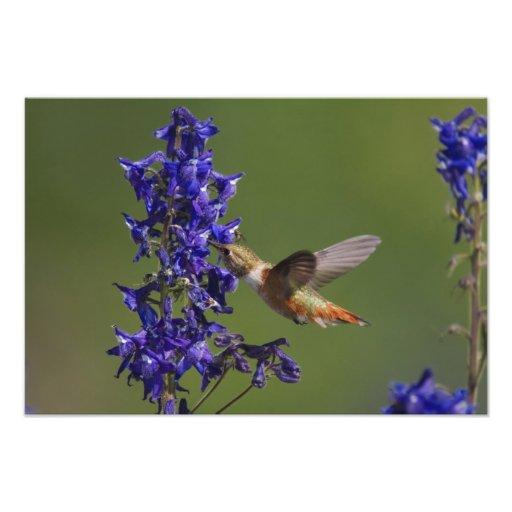 Rufous Hummingbird, Selasphorus rufus, female Photo Art