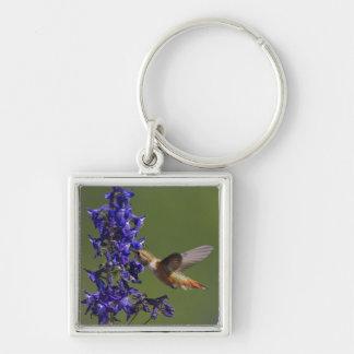 Rufous Hummingbird, Selasphorus rufus, female Silver-Colored Square Key Ring
