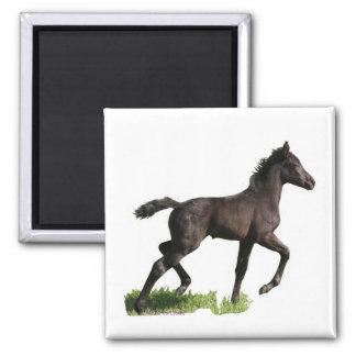 Running Black Horse Colt Refrigerator Magnet