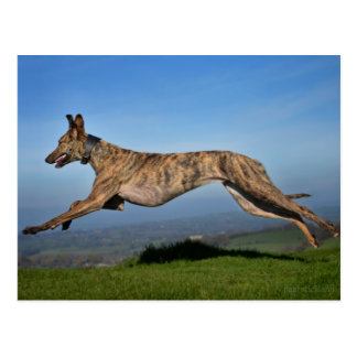 Running Brindled Lurcher Greyhound Cross Postcard