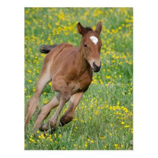 Running Foal Postcard