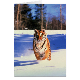 Running tiger in snow color photo greeting card