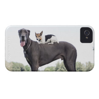 Russell terrier on great dane's back Case-Mate iPhone 4 cases