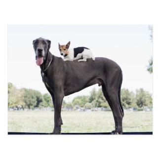 Russell terrier on great dane's back postcard