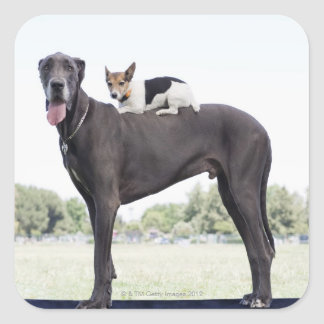 Russell terrier on great dane's back square sticker