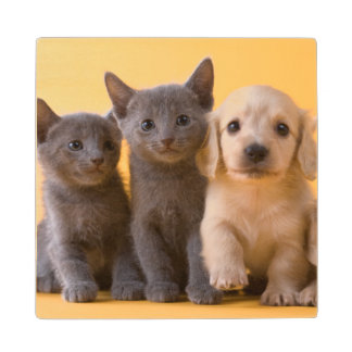 Russian Blue Kittens And Dachshund Puppies Wood Coaster