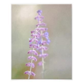 Russian Sage Photography Print Art Photo