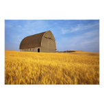 Rustic old barn in mature wheat field in the 2 art photo