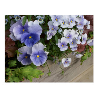 Rustic Purple Pansy Floral Postcard