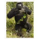 Rwanda, Volcanoes National Park. Mountain Postcard