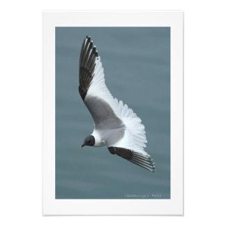 Sabine's Gull in Flight 19 x 13 Fine Photo Print