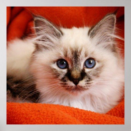 Sacred cat of Burma (Sacred Birman kitten) Poster