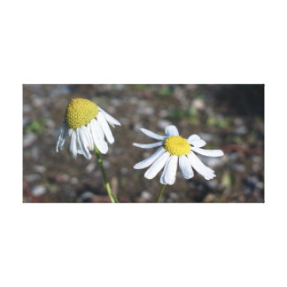 'Sad Happy' - Daisies (Flowers) Canvas Print