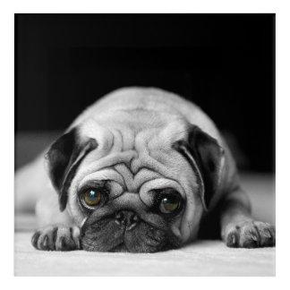 Sad Pug Acrylic Print