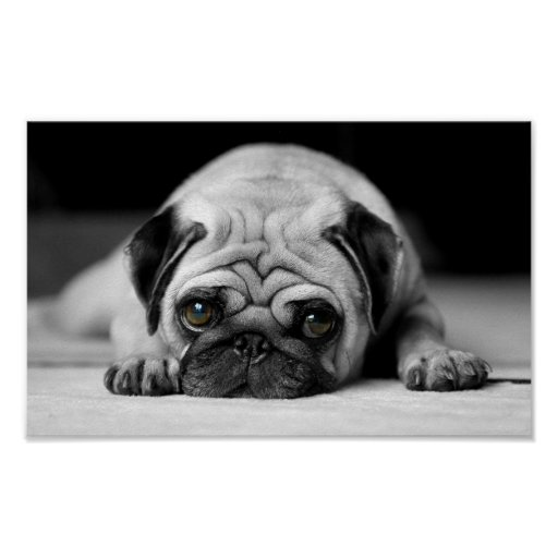 Sad Pug Poster