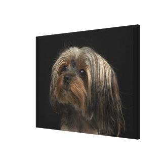 Sad yorking face looking to the left canvas print