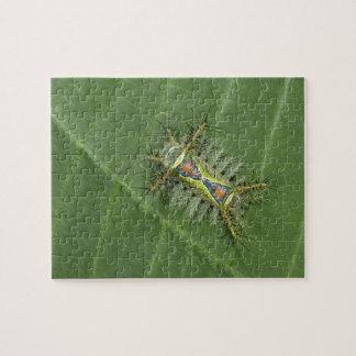 Saddleback moth, Acharia sp., poisonous Jigsaw Puzzle