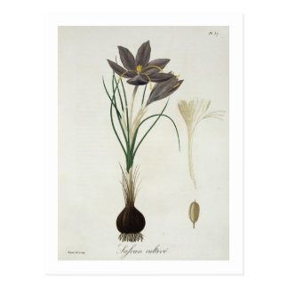 Saffron Crocus from 'Phytographie Medicale' by Jos Postcard