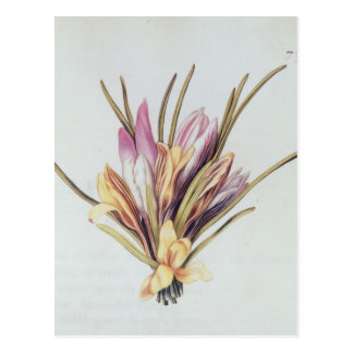 Saffron or Crocus, from 'La Guirlande de Julie' Postcard