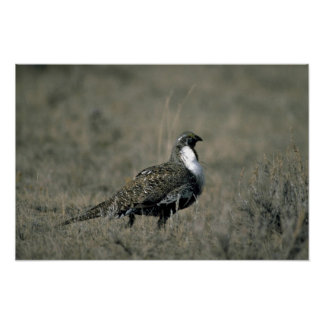 Sage grouse posters