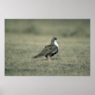 Sage grouse print