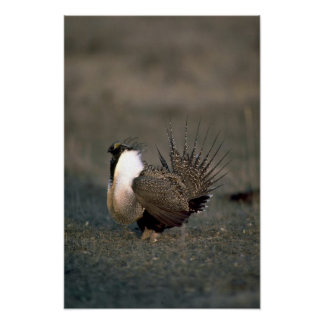 Sage grouse strutting posters