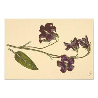 Sage Leaved Bellflower Botanical Illustration Photo Print