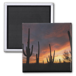 saguaro cacti, Carnegiea gigantea, after Square Magnet