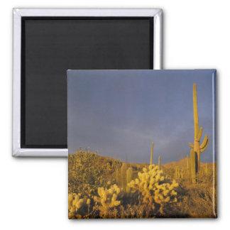saguaro cacti, Carnegiea gigantea, and teddy Square Magnet
