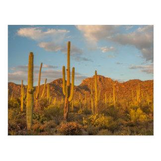 Saguaro cactus at sunset, Arizona Postcard