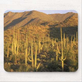 Saguaro cactus in Saguaro National Park near Mouse Mat