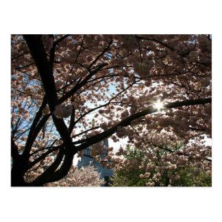 Sakura Branches Postcard