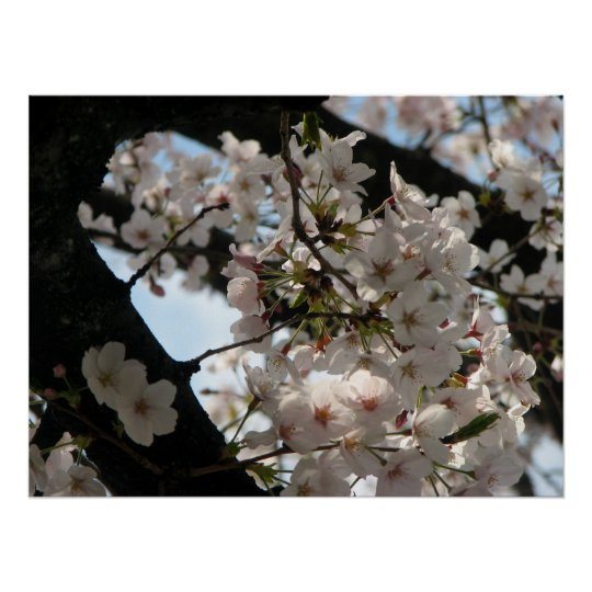 Sakura (cherry blossom) poster