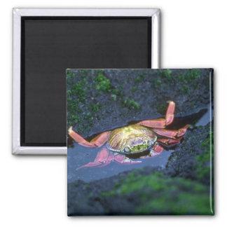 Sally Lightfoot Crab Entering Water Fridge Magnet