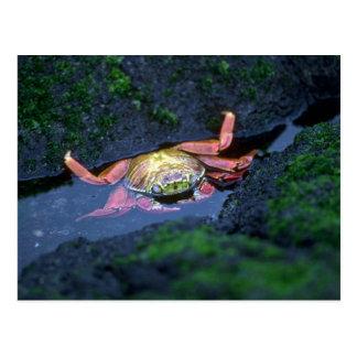 Sally Lightfoot Crab Entering Water Postcard