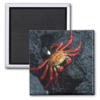 Sally Lightfoot Crab Fridge Magnets