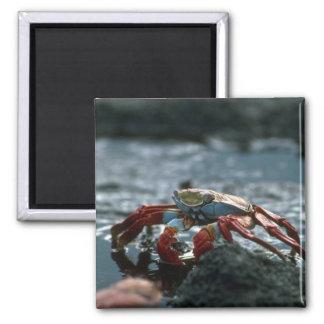Sally Lightfoot Crab Magnet
