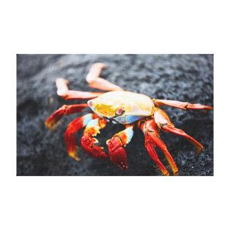 Sally lightfoot crab on a black lava rock canvas prints