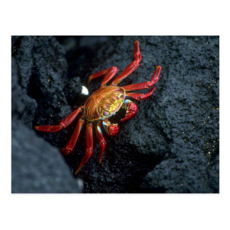 Sally Lightfoot Crab Postcard
