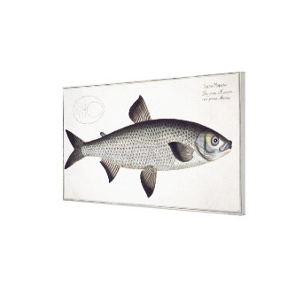 Salmon (Salmo Maraena) plate XXVII from 'Ichthyolo Canvas Print