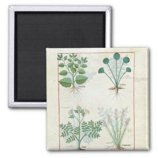 Salt Bush and Anthora Absinthium and Cardamom Square Magnet