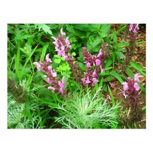 Salvia and Artemesia Post Cards