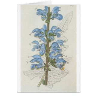 Salvia Barrelieri Greeting Card