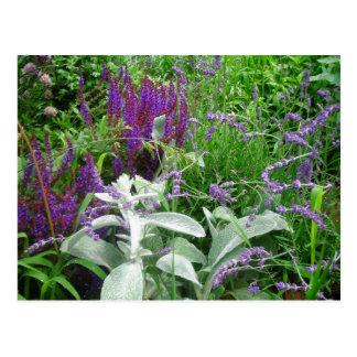 Salvia Lavendar Lambs ear Postcards